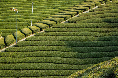 緑茶で健康に